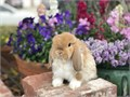 8 week old Holland lop bunnies dwarf breed only 3-4 lbs full grown very friendly text Dianne at 71