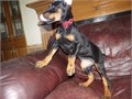Doberman puppies for sale These beautiful puppies are family raised and are very friendly They l