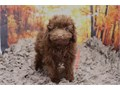 Breed Toy PoodleNickname HersheyDOB June 25 2019Sex MaleApprox Size at Matur