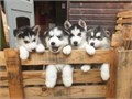 Stunning litter of Siberian husky puppies for sale 3 boys and 3 girls available very friendly and pl