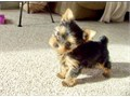 YORKIES FOR SALE YORKIES PUPPIES FOR SALE WE HAVE 2 FEMALES AND ONE MALE AVAILABLE NOW you will f