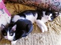 Trixie is a Black and White Tuxedo Cowprint Female kitten 10 wks Sweetsocialized and completely