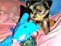 YORKIE PUPPIES FEMALE  MALES 8  WEEKS OLD 1st set of shots  deworming619 985-673