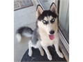 9 months old female very playful and full of energy Knows basic commands and learns very quickly