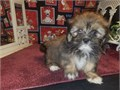 Male and female Lhasa Apso puppies for pet lovers They are 12 weeks old vet checked dewormed and