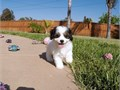 Puppys name DoryBreed CavalierBichon FriseAge 10 weeks old Registry