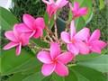 3 gorgeous species large 15 gallon 6 feet tall 80 each Plumeria fragrant Samoa Fluff White with Y
