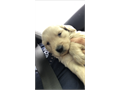 hi i have girls and boys available pups have been dewormed are currently 2 months and will be going
