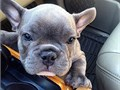 Top Quality AKC Frenchies Available For More infoONLY TEXT 786 864-0909 OR Visit wwwakcmicrof