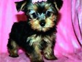 T CUPS AND TINY TOYS YORKIES FOR SALE TINY YORKIE PUPPIES FOR SALE MALE AND FEMALE REALLY TINY AND