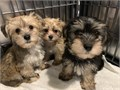 Absolutely beautiful Morkie puppies are now ready for their new homes 3 girls 1 boy The boy is the