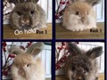I have available beautiful hard to find purebred English Angora baby bunnies English Angoras are