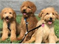 CKC registered F1B Goldendoodle Puppies F1B most hypoallergenic Golden Doodles4 months old --