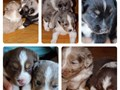 Mini Aussie puppies for sale  Female merles and male tris available  Will be 6 weeks old June 11