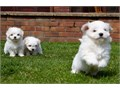 A truly lovely litter of AKC registered Maltese puppies For more Info and Pics please Text at 38