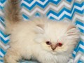 Friendly Persian Kittens Ready Kittens come with TICA registration papers are all current on all s