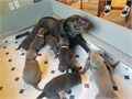 4 charcoal female lab pups Located in Oregon but willing to set up delivery Akc Registered pups 4