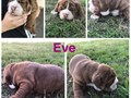 Old English bulldog puppies 3 female and 1 male availableThese puppies have awesome pedigree are