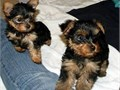 Yorkie PupsMFs10wks Shots UTD with papersFor instant feedback Reach me at t
