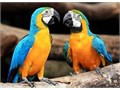 MJKS ale and Female macaw parrot for salewith no cosmetic issues and Easy Keeper Selling Sound an