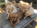 Males and girls available theyre 8 weeks and ready to go home they got their shots and have been