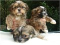 Lhasa Apso PuppiesPLEASE EMAIL US DIRECTLY FOR PICTURES AND MORE DETAILS VIA marcbradly1975gma