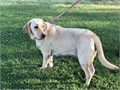 I have a 2 year old Female purebred Labrador yellow color She is healthy friendly with a great te