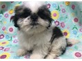 gfd Shih tzu puppies for salelove playing and runningtext or call me for more info and pictures 40
