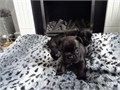 Now ready to leave for their forever homes they are true to type French Bulldog