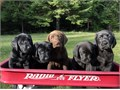 AKC Registered Labrador Puppies They will be ready for their new homes August 23They are curren