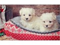 Justic Hgbs Maltese PuppiesThey are very friendly with other pets and children Ready to go Email m