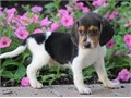 Attractive Beagle puppies Our puppies are very sweet and charmingcontact at 402-838-7683