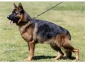 German shepherd STUD call or tex 949613-4747