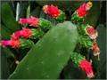 Cochineal OpunTia CacTus