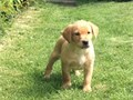 lovely litter of Labrador now ready to go to new homes puppies are 10 weeks old and pure breed con