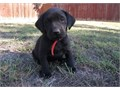 Black Labrador Retriever Puppies For SaleThey are very friendly with other pets and children Ready