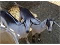 160 each goat 300 if you take both