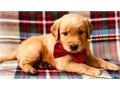 SWeet Golden Retriever puppies now ready There looking for there forever homesText or call 650 6