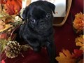 Qat Pug Puppies for sale -  text us at804 592 0091- For more info and pics text us at804 5