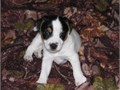 Jack russell puppies for sale Very good inside puppies Loves kids and people and does well with