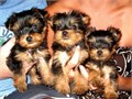 Tiny micro teacup Yorkie boy Yorkshire terrier he is 9 wks old registered vaccinated and tail ha