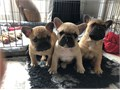 We are pleased to announce the sale of 3 French Bulldogs the pups have been raised in our family ho