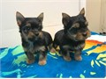 Boy and girl currently  ten weeks old have Yorkshire terrier Super sweet mom