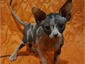 bngrht Sphynx kittens 11 weeks old ready to go Text 276 xx 318 xx 2179