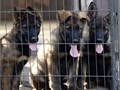 AKC German Shepherd Puppies ready for their new homes Working lines good temperament Tilted paren