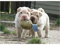 Chinese Shar-Pei Puppies For SaleThey are very friendly with other pets and children Ready to go E