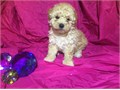 FEMALE MALTIPOO PUPPY FOR SALE BEAUTIFUL FEMALE MALTIPOO PUPPY FOR SALE she shots and dewormed sh