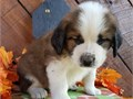 superb Saint Bernard Puppies Available For Sale Our puppies are very sweet