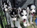 100 purebred black and white male and female Siberian Husky puppiesContact me now for more detai