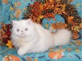 2 Retired Show Quality White Long haired Persians Young Blue Eyed White Neutered Male very Playful